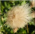 NO4799 : Creeping Thistle Seedhead by Anne Burgess