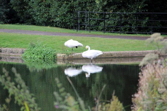 Whooper Swans (Cygnus cygnus)