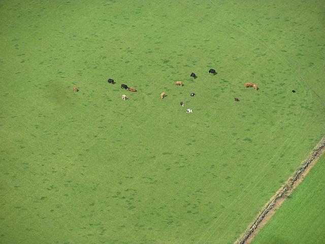 Cattle, West Brackley