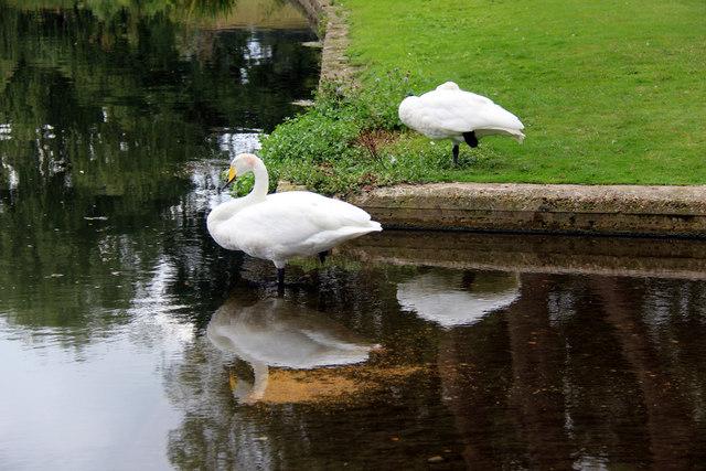 Pair of Whooper Swans (Cygnus cygnus)