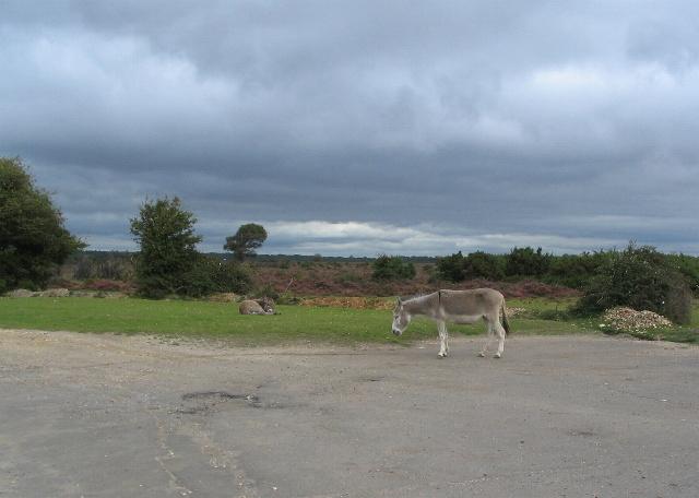 Donkeys, Beaulieu Heath