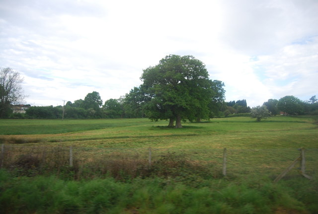 Two Oak trees in an field
