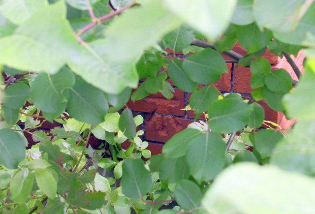 Benchmark hiding behind shrub on #57 Currock Road