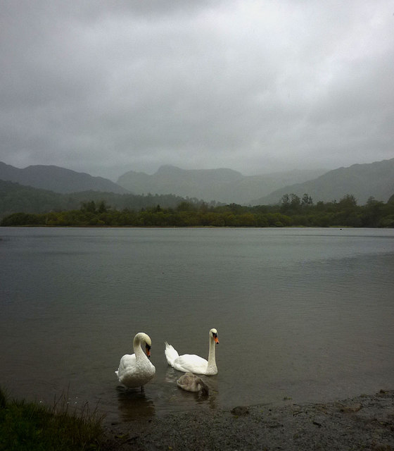 Swans on a grey Elter Water morning