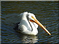 TQ2979 : American white pelican, Pelecanus erythrorhynchos, in St. James' Park by pam fray