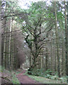 SX8283 : Sweet chestnut by a forest ride  by Robin Stott