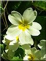 NT9167 : Primrose (Primula vulgaris), St Abbs Churchyard by Maigheach-gheal