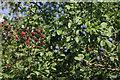 ST9561 : Blackberries and sloes by Stephen McKay