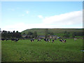 SD8591 : Dairy cattle grazing at Pry House by Karl and Ali