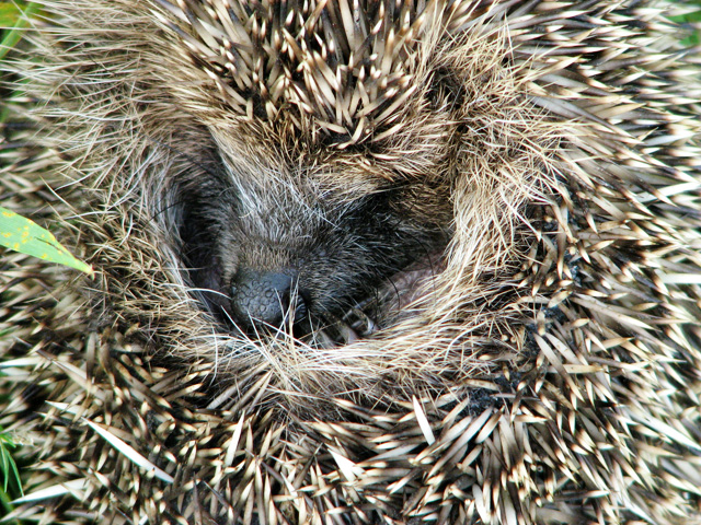 Young hedgehog (Erinaceus europaeus)