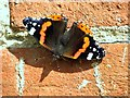 TM2480 : Red Admiral  (Vanessa atalanta) by Evelyn Simak