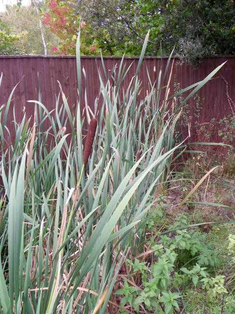 Bulrush (Typha latifolia), Coombe Bissett
