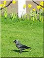 NT8947 : Jackdaw (Corvus monedula) by Maigheach-gheal