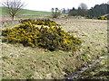 NT7560 : Gorse by Eller Burn by Maigheach-gheal