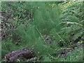 NT7970 : Giant Horsetail [Equisetum telmateia] by M J Richardson