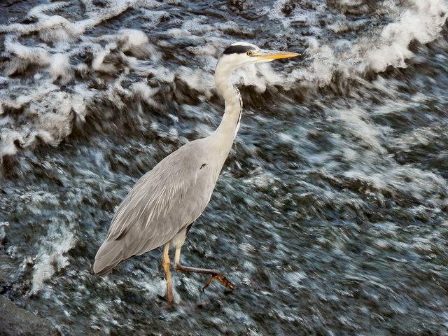 Grey Heron at Northenden Weir