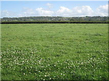 ST5783 : Hedged pasture with white clover  by Robin Stott