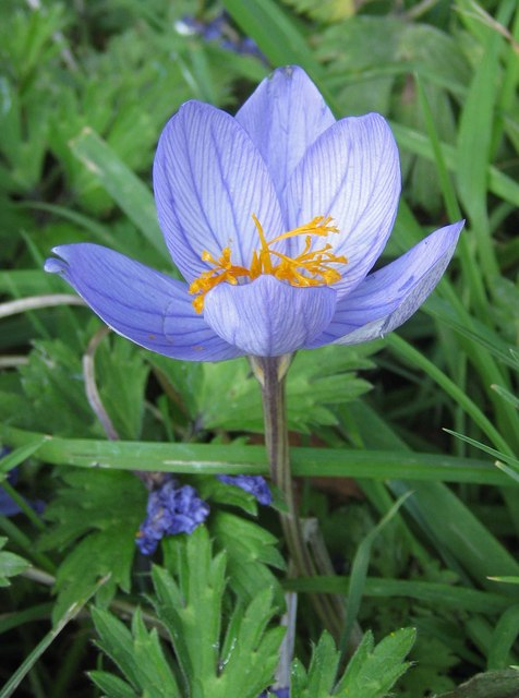 Autumn crocus, Sinnington