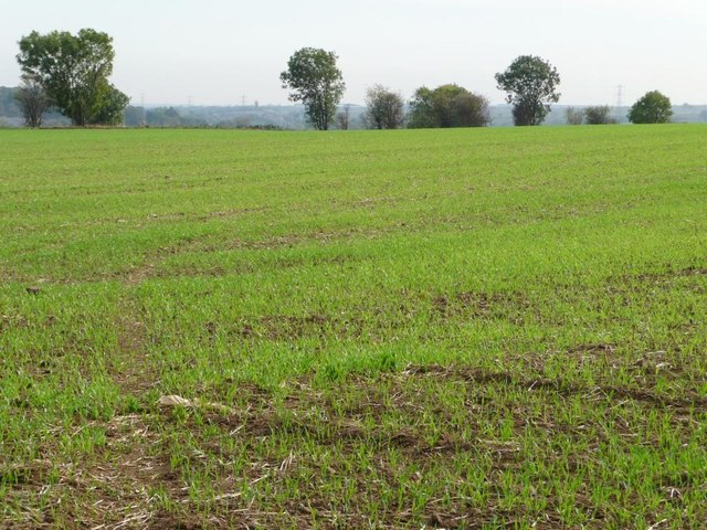 Emerging crop, south of Field Lane