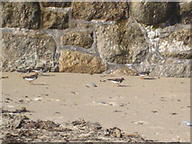 SW3526 : Turnstones in Sennen Cove harbour by Rod Allday