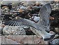 NJ2270 : Juvenile Gull by Anne Burgess