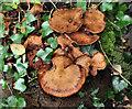 J4581 : Fungus, Helen's Bay (14) by Albert Bridge