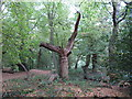TL4004 : Dead tree in Galleyhill Green by Roger Jones