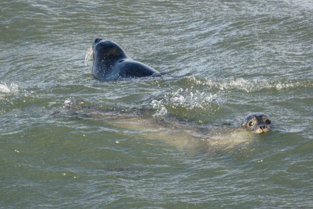 Common Seals (Phocina vitulina), playing in the surf, Westing