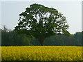 SU2943 : Amport - Field Of Rape Seed by Chris Talbot