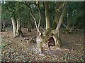 SU6589 : Ash Stump in Mogpits Wood by Des Blenkinsopp