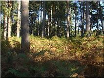 SU9064 : Swinley Forest by Alan Hunt