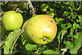 SE6078 : Crispin variety, Ampleforth Abbey orchard by Pauline E