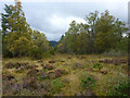 NH9209 : Open area in the forest at Rothiemurchus by Phil Champion