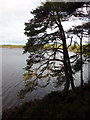 NH8907 : Scots pine next to Loch an Eilein by Phil Champion