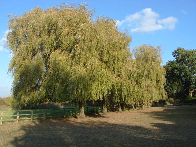 Willows, Fifield