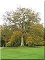 NT7134 : Stately beech at Floors Castle by M J Richardson