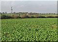 SE7671 : Root crop by Pauline E