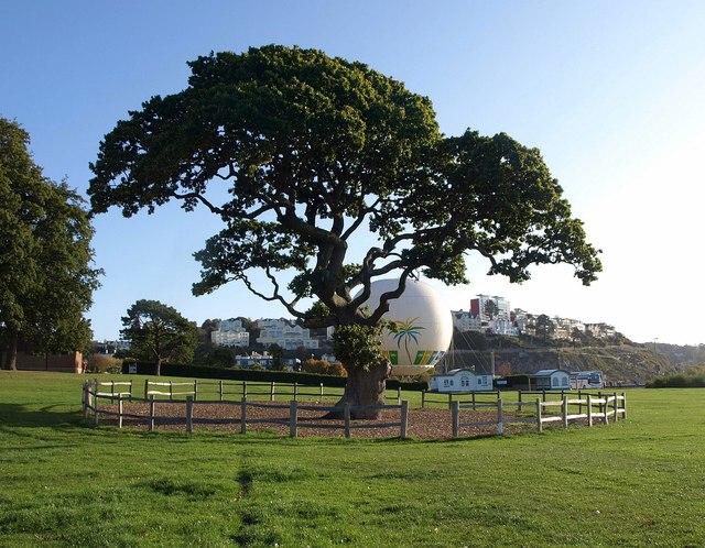 Oak, Torre Abbey Meadows