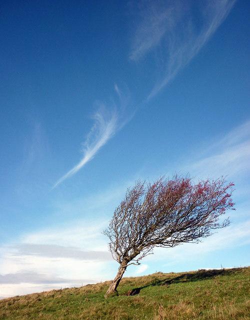 A windswept tree on Hampsfell
