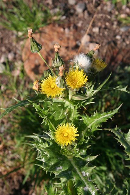Rough Sow-thistle (Sonchus asper)