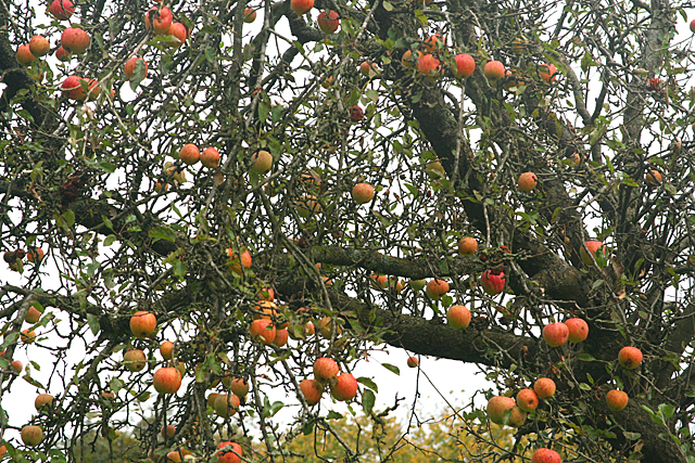 Long Ashton: old apple tree