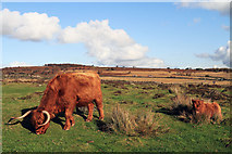 SK2773 : Highland Cattle on the Eaglestone Flat by Andy Stephenson