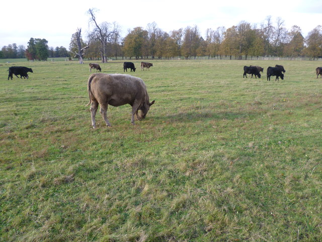 Cattle in Syon Park