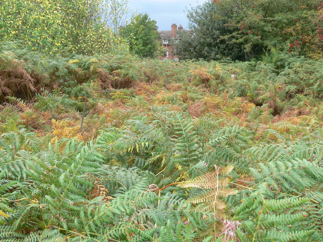 Bracken on the St Mary's Allotments