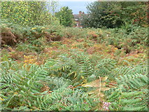 SK5802 : Bracken on the St Mary's Allotments by Mat Fascione