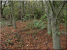 SK5802 : Small woodland at the Raw Dykes by Mat Fascione