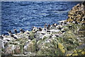 NU2337 : Puffins on a cliff top by N Chadwick