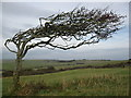 TV5895 : Windswept hawthorn at Beachy Head by don cload