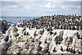 NU2337 : Guillemots and Kittiwakes, Staple Island by N Chadwick