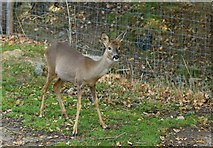 TQ3643 : Roe Deer at the British Wildlife Centre, Newchapel, Surrey by Peter Trimming